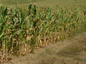 Corn requires large amounts of nitrogen fertilizer which can leach into groundwater